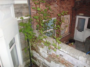 Knotweed growing in Cardiff